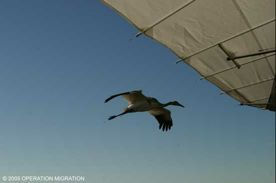 Whooping Crane Migration, Fall 2006