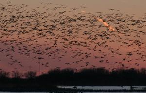 Cranes on Nebraska's Platte River during migration.