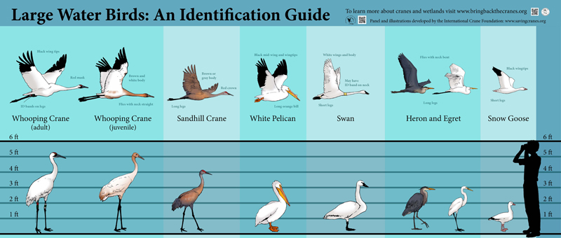 chart identifying Whooping Cranes compared to other large or similar water birds