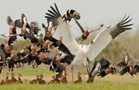 Whooping crane amid many ducks
