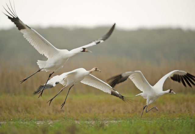 Whooping Cranes in flight by Klaus Nigge