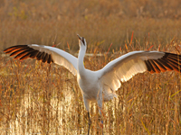 Whooping crane with flared wings