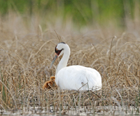 Whooping crane adult and new chick