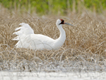 Whooping crane on nest