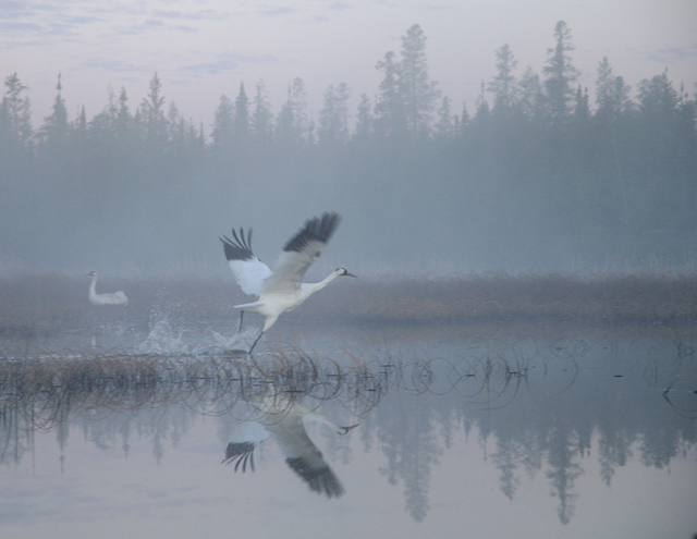 Adult crane taking off from nest site in foggy mist