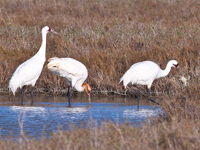 Whooping crane family foraging.