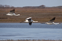 Family of Whooping cranes in flight