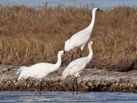 Whooping crane pair and juvenile