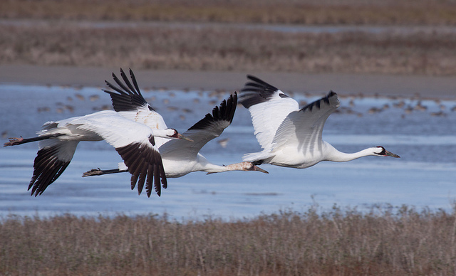 Whooping Crane family takes flight