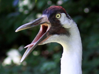 Whooping crane with beak open and tongue visible