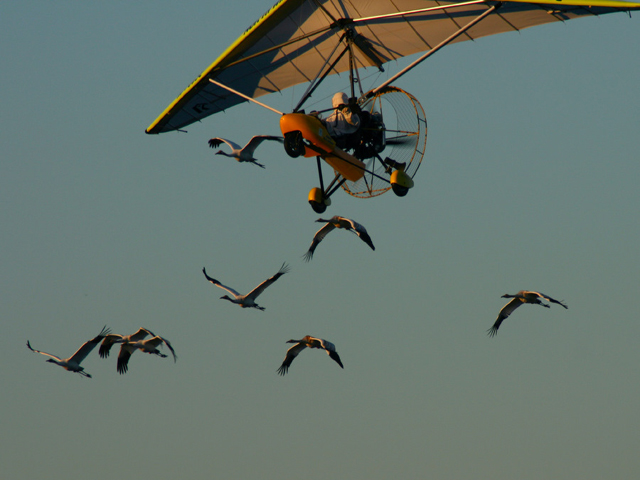Whooping cranes Building Flight Skills