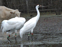 Pair #7_07 and #39-07 on wintering territory in 2013