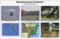 Whooping Crane Comeback: photo gallery