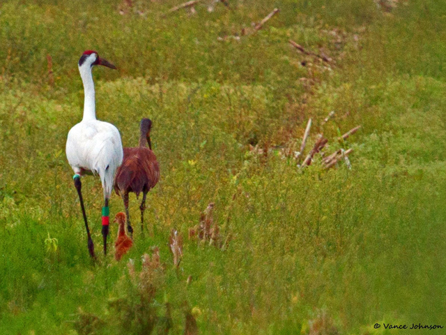 Whoophill chick (hybrid) and its Whooping Crane father and Sandhill Crane mother