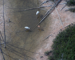 Aerial view of Whooping crane family on Canadian nesting grounds