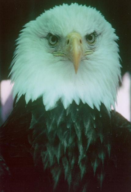Journey North: Bald Eagle Updates