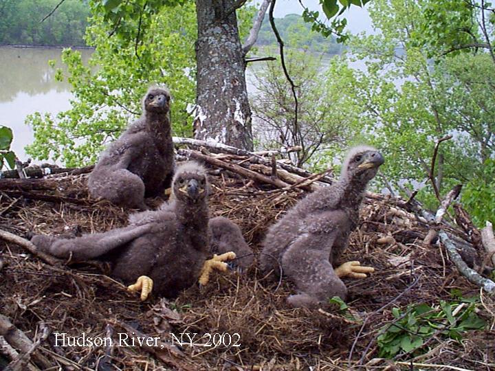 Bald eagle Nesting Behavior