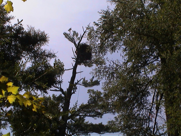 Bald eagle nests