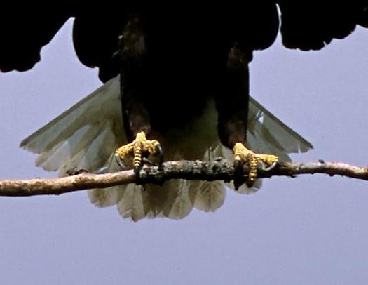 Bird Of Prey Talons 7