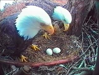 Bald Eagle eggs in nest