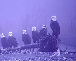 eagles in mist