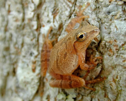 Frog: Spring Peeper by USGS