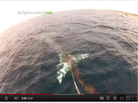 Photo of gray whale rescue that took place March 23, 2012 off Dana Point Harbor in California.