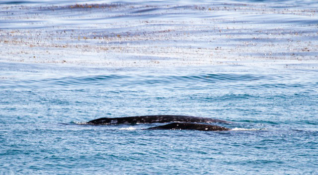 Gray whale mother and baby migrating north along California coast