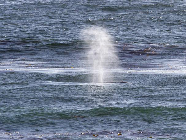 Northbound gray whales past California