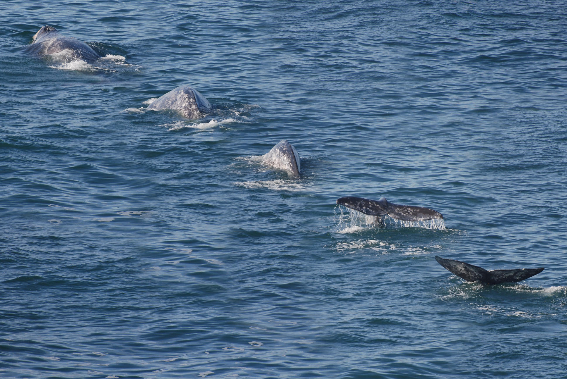 northbound gray whales
