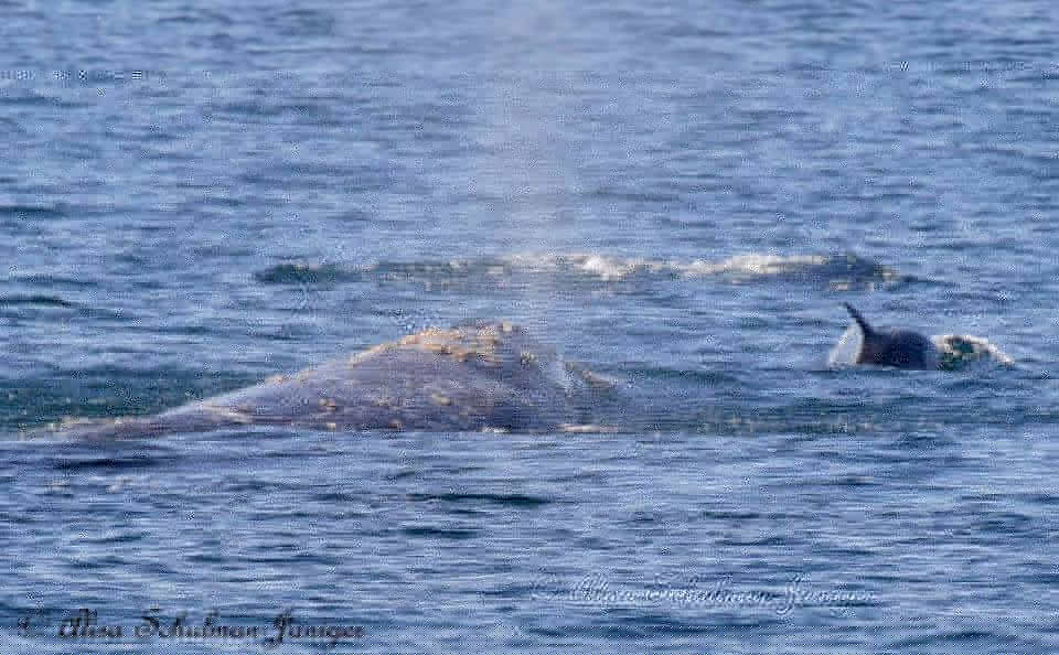 Gray whale and dolphins