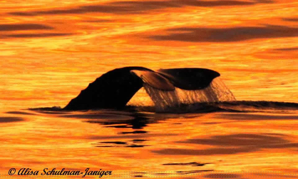 Gray whale flukes as it dives at sunset