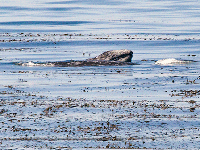 baby gray whale surfacing in kelp