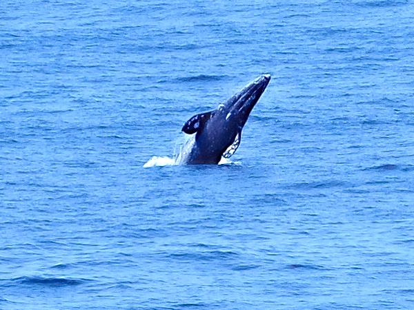 Breeching gray whale