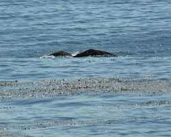 Gray whale mother and calf on migration