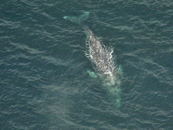 Spyhopping gray whale