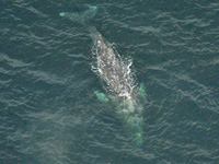 Gray whale migration: aerial view