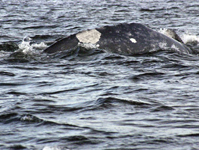 Gray whale named Patch, identified by his markings