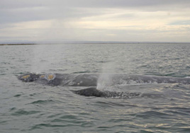 Mother and baby gray whale blowing