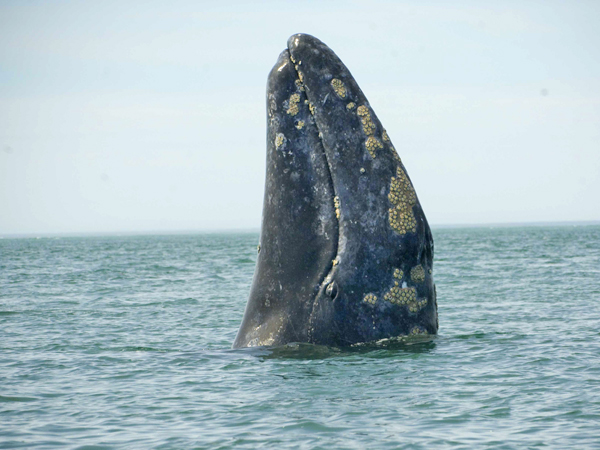 Gray whale spyhopping, with barnacles