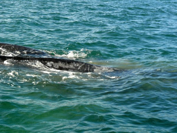 """Gray whale with mud circle in the water, indicating """"snacking."""""""