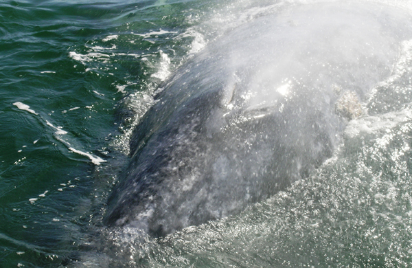 A gray whale's blowholes.