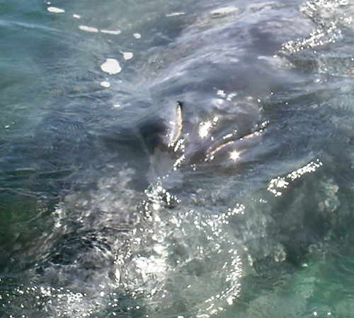The slits on the gray whale's head are blowholes.