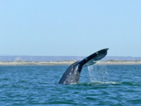 Gray whale tail as it dives