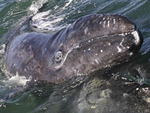 Baby gray whale rests on mother's back.
