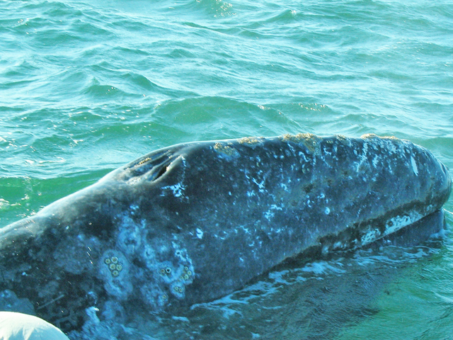Gray whale blow hole