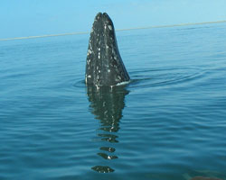 A gray whale spy hopping