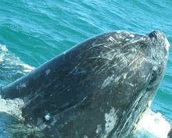 A gray whale's head