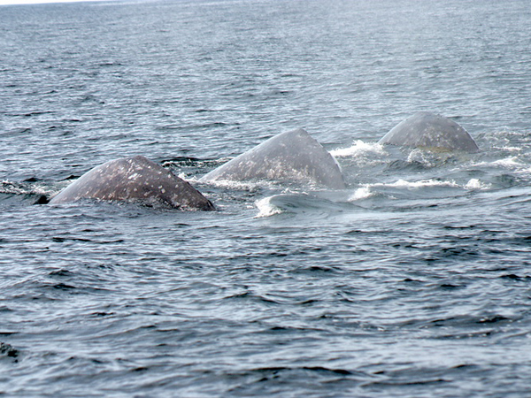 Three gray whales