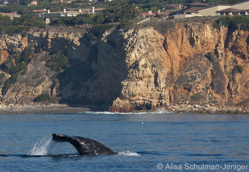 Migrating gray whale fluking by Point Vicente Interpretive Center